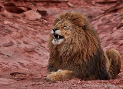 barbary-lion-moab-2049-copyright-photographers-on-safari-com