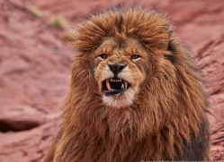 barbary-lion-moab-2051-copyright-photographers-on-safari-com