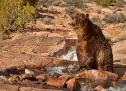 brown-bear-moab-2071-copyright-photographers-on-safari-com