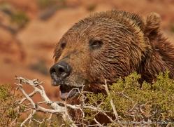 brown-bear-moab-2072-copyright-photographers-on-safari-com