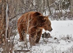 brown-bear-moab-2080-copyright-photographers-on-safari-com