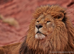 barbary-lion-moab-2045-copyright-photographers-on-safari-com
