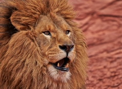 barbary-lion-moab-2047-copyright-photographers-on-safari-com