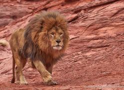 barbary-lion-moab-2052-copyright-photographers-on-safari-com