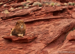 barbary-lion-moab-2054-copyright-photographers-on-safari-com