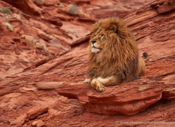 barbary-lion-moab-2055-copyright-photographers-on-safari-com