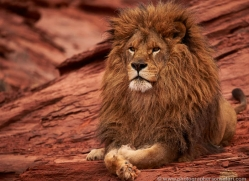 barbary-lion-moab-2056-copyright-photographers-on-safari-com