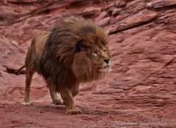 barbary-lion-moab-2057-copyright-photographers-on-safari-com