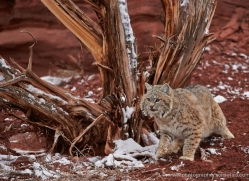 bobcat-moab-2064-copyright-photographers-on-safari-com