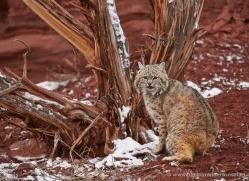 bobcat-moab-2065-copyright-photographers-on-safari-com