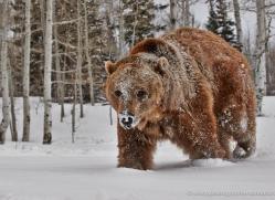 brown-bear-moab-2076-copyright-photographers-on-safari-com