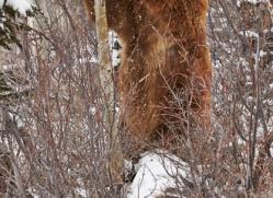 brown-bear-moab-2079-copyright-photographers-on-safari-com