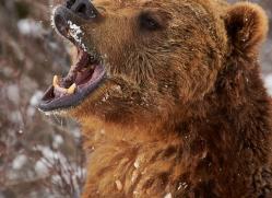 brown-bear-moab-2082-copyright-photographers-on-safari-com