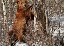 brown-bear-moab-2088-copyright-photographers-on-safari-com