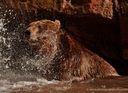 brown-bear-moab-2090-copyright-photographers-on-safari-com