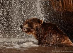brown-bear-moab-2093-copyright-photographers-on-safari-com