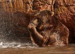 brown-bear-moab-2097-copyright-photographers-on-safari-com