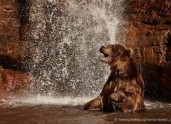 brown-bear-moab-2098-copyright-photographers-on-safari-com