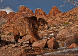 brown-bear-moab-2102-copyright-photographers-on-safari-com