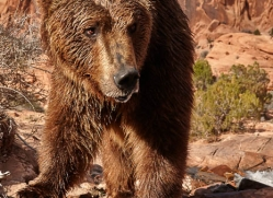 brown-bear-moab-2103-copyright-photographers-on-safari-com