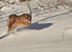 mountain-lion-puma-moab-1962-copyright-photographers-on-safari-com