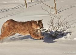 mountain-lion-puma-moab-1963-copyright-photographers-on-safari-com