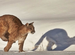 mountain-lion-puma-moab-1966-copyright-photographers-on-safari-com