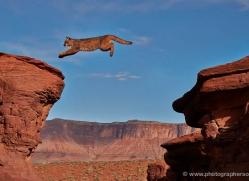 mountain-lion-puma-moab-1974-copyright-photographers-on-safari-com