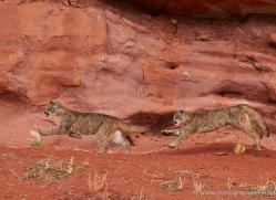 mountain-lion-puma-moab-1979-copyright-photographers-on-safari-com
