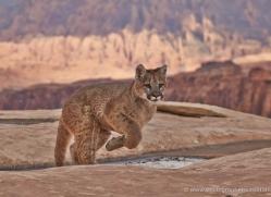 mountain-lion-puma-moab-1980-copyright-photographers-on-safari-com