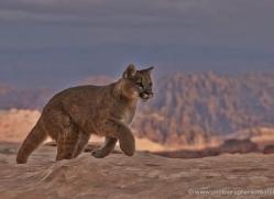 mountain-lion-puma-moab-1982-copyright-photographers-on-safari-com
