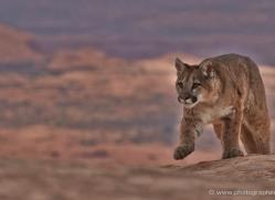 mountain-lion-puma-moab-1983-copyright-photographers-on-safari-com