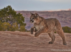 mountain-lion-puma-moab-1988-copyright-photographers-on-safari-com