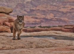 mountain-lion-puma-moab-1989-copyright-photographers-on-safari-com
