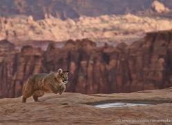 mountain-lion-puma-moab-1992-copyright-photographers-on-safari-com