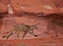 mountain-lion-puma-moab-1993-copyright-photographers-on-safari-com