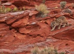 mountain-lion-puma-moab-1999-copyright-photographers-on-safari-com