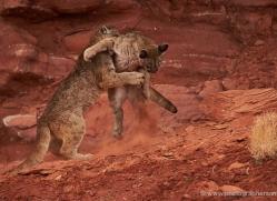 mountain-lion-puma-moab-2010-copyright-photographers-on-safari-com