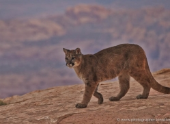 mountain-lion-puma-moab-2012-copyright-photographers-on-safari-com