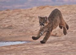 mountain-lion-puma-moab-2016-copyright-photographers-on-safari-com