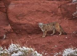 mountain-lion-puma-moab-2017-copyright-photographers-on-safari-com