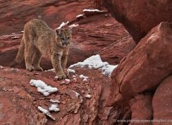 mountain-lion-puma-moab-2019-copyright-photographers-on-safari-com
