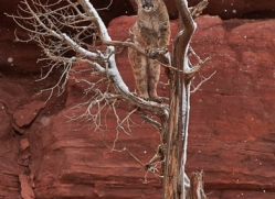 mountain-lion-puma-moab-2021-copyright-photographers-on-safari-com