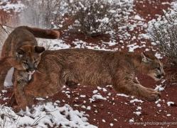 mountain-lion-puma-moab-2025-copyright-photographers-on-safari-com
