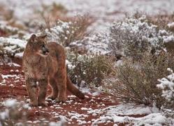 mountain-lion-puma-moab-2028-copyright-photographers-on-safari-com