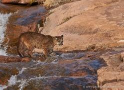 mountain-lion-puma-moab-2029-copyright-photographers-on-safari-com