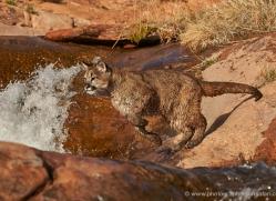 mountain-lion-puma-moab-2031-copyright-photographers-on-safari-com