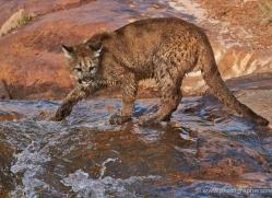 mountain-lion-puma-moab-2032-copyright-photographers-on-safari-com