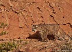 mountain-lion-puma-moab-2034-copyright-photographers-on-safari-com