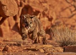 mountain-lion-puma-moab-2036-copyright-photographers-on-safari-com